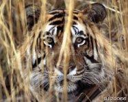 Львы и тигры 1