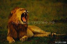 Львы и тигры 2